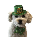 St. Patrick's Day Dog. Fluffy white dog wearing St. Patrick's Day costume Stock Photography