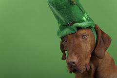 St.Patrick's Day dog. Wearing a green hat on a green background Stock Images