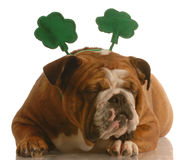 St. Patrick's Day dog Royalty Free Stock Image