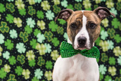 St. Patrick's Day Dog Royalty Free Stock Photo