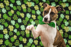 St. Patrick's Day Dog. A cute dog waving on St. Patrick's Day Stock Image
