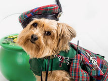 St Patrick's Day Dog with pot of gold and bagpipes. Yorkie looks into camera with St Patrick's Day clothing and a pot full of gold and bagpipe. Ready for a royalty free stock photos