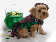 St Patrick's Day Dog with pot of gold. Yorkie looks into camera with St Patrick's Day clothing and a pot full of gold stock photo