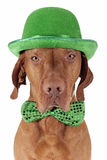 St.Patrick's Day dog Stock Images