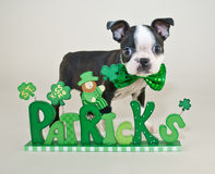 St Patrick's Day Puppy Royalty Free Stock Image