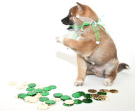 Greedy  St. Patrick's Day Puppy Royalty Free Stock Photography