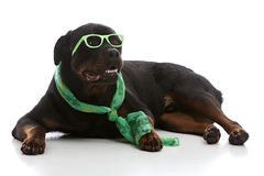 St. Patrick's Day Rottie stock photo