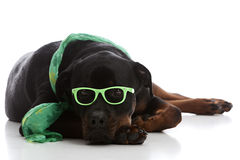 St. Patrick's Day Rottie Stock Image