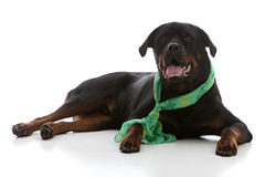 St. Patrick's Day Rottie Royalty Free Stock Photography