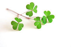 St Patrick's Day - Shamrocks Stock Photography