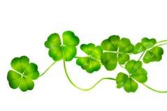 St.Patricks dagklaver Stock Foto's