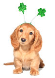 St Patricks day. Miniature dachshund puppy wearing St Patricks day costume stock image