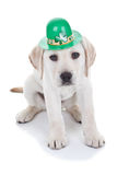 St Patricks Day. Labrador puppy dog stock image