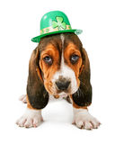 St Patricks Day Basset Hound Puppy. A cute little Basset Hound breed puppy dog wearing a green St. Patrick's Day themed hat royalty free stock photos