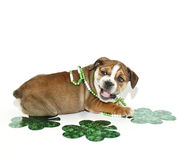 St Patricks Day Bulldog Puppy. Silly Bulldog puppy with a funny look on his face with green clovers and ready for St Patricks Day, on a white background stock image