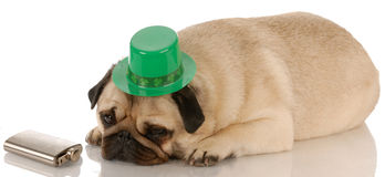 St. Patricks day dog. Pug dressed up for St. Patricks Day on white background stock photo