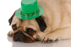 St. Patricks Day dog. Fawn pug wearing st patricks day hat on white background royalty free stock image