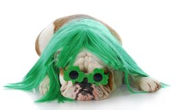 St. Patricks day dog. English bulldog dressed up with green wig and glasses for St. Patricks Day stock photography