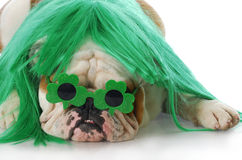 St patricks day dog. English bulldog wearing green wig and shamrock glasses with reflection on white background stock photography