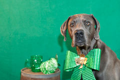 St. Patricks Day Dog. A cute Great Dane celebrating St. Patricks Day stock photography