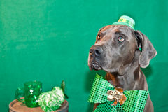 St. Patricks Day Dog. A cute Great Dane celebrating St. Patricks Day royalty free stock photos