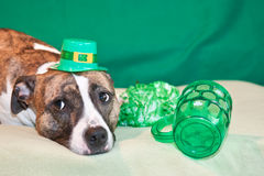 St. Patricks Day Dog. A cute American Staffordshire terrier celebrating St. Patricks Day royalty free stock photography