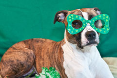 St. Patricks Day Dog. A cute American Staffordshire terrier celebrating St. Patricks Day stock image