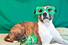 St. Patricks Day Dog. A cute American Staffordshire terrier celebrating St. Patricks Day stock photo