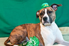 St. Patricks Day Dog. A cute American Staffordshire terrier celebrating St. Patricks Day royalty free stock image