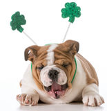 St patricks day dog. English bulldog wearing st patricks day headband stock photo