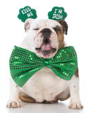 St Patricks Day dog. English bulldog wearing kiss me I'm Irish headband royalty free stock image