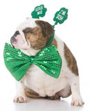 St Patricks day dog. English bulldog wearing kiss me I'm Irish headband stock image