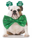 St Patricks Day dog. English bulldog wearing kiss me I'm Irish headband stock photography