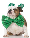 St Patricks Day dog. English bulldog wearing kiss me I'm Irish headband royalty free stock photography