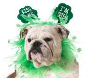 St. Patricks Day dog. English bulldog wearing kiss me I'm Irish headband isolated on white background stock photos