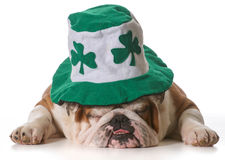 St Patricks Day dog. English bulldog wearing St Patrick's Day hat isolated on white background royalty free stock photos