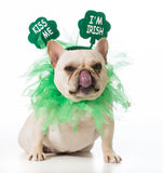 St Patricks Day dog. French bulldog royalty free stock image