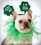 St Patricks Day dog. French bulldog stock images