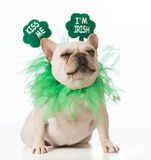 St Patricks Day dog. French bulldog stock photo