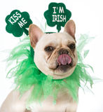 St Patricks Day dog. French bulldog stock photography