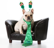 St Patricks day dog. French bulldog sitting on leather couch royalty free stock image