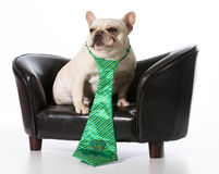 St. patricks day dog. St Patricks Day dog - french bulldog sitting on leather couch royalty free stock photo