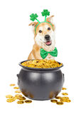 St Patricks Day Dog With Pot of Gold. Happy dog wearing St Patrick`s Day tie and headband sitting behind pot of gold royalty free stock photos