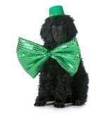St Patricks Day dog. Standard poodle puppy wearing green hat and tie sitting isolated on white background - 8 weeks old stock image