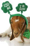 St patricks day goat Stock Image