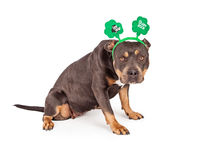 St Patricks Day Pit Bull Dog. A cute tri-color Pit Bull dog wearing a green St. Patrick's Day Shamrock headband stock image