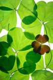 ST.Patricks day shamrocks. One Small red 3 leaf clover amongst a group of large green three leaf clovers Stock Photo