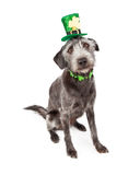 St Patricks Day Terrier Dog. Cute terrier crossbreed dog wearing a St. Patrick's Day hat headband and clover collar stock photography