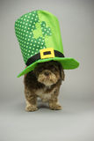 St pats day dog. Dog with st patricks hat, gray background, green hat royalty free stock photo