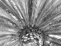 St Paul& x27; s Palm B & W Royalty-vrije Stock Afbeelding